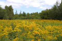 Field of Goldenrod. Ontario. Focus is on the foreground Stock Image