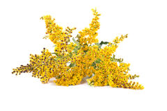 Field Goldenrod plant. Wild plants Goldenrod on a white background Stock Image