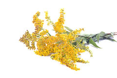 Field Goldenrod plant. Wild plants Goldenrod on a white background Stock Images