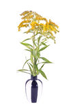 Field Goldenrod plant. Wild plants Goldenrod on a white background Royalty Free Stock Images