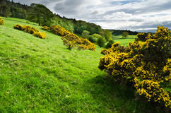 Field of Gorse. Hillside meadow of gorse bushes in Northumberland Royalty Free Stock Photography