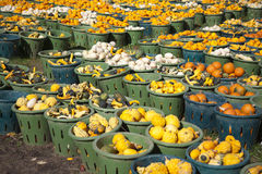 Field of Gourds Stock Photography
