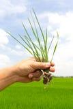 field grön handpaddy för gräs Fotografering för Bildbyråer