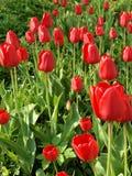 field gröna växande lithuanian röda tulpan Arkivfoton