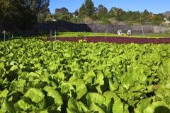field grönsallat Royaltyfri Bild