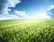 field grönt vete Royaltyfri Fotografi