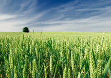 field grönt vete Fotografering för Bildbyråer