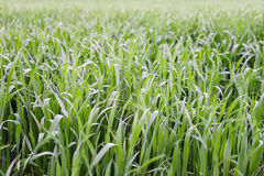 field grönt vete Royaltyfria Bilder