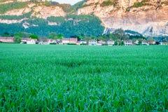 field grönt vete Royaltyfri Bild