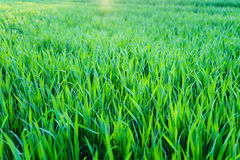 field grönt vete Arkivfoto