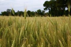 field grönt vete Arkivbild