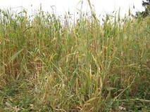 field grönt vete Arkivbilder