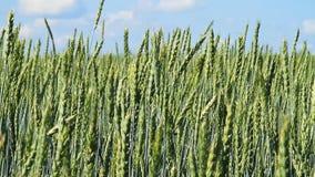 field grönt vete stock video