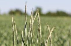 field grönt vete Arkivfoton