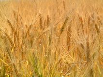 Field of Grain. Field of ripe grain heads near harvest time Stock Images