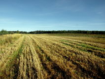 Field of Grain Stock Image