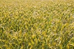 Field of Grain. Large field of grain in the summer Royalty Free Stock Photo