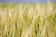 Field of Grain Royalty Free Stock Image