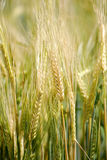 Field of Grain Royalty Free Stock Images