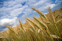 Field of grain. With big sky Stock Images