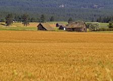Field of Grain and Barn. This image of the barn, outbuildings and field of grain was taken in NW Montana Royalty Free Stock Photo