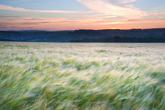 Field of grain blowing in wind Summer sunset. Landscape of field of grain blowig in wind during Summer sunset in England Stock Photography