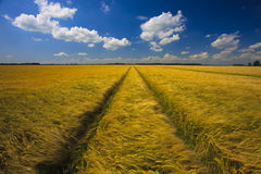 Field of grain with blue sky Stock Images