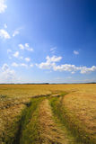Field of grain with blue sky Royalty Free Stock Photo