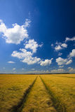 Field of grain with blue sky Stock Photos