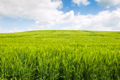 Field of grain. Grain field with blue sky and clouds Royalty Free Stock Photos