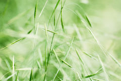 Field of grain Stock Photography
