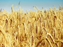 Field of grain. Food and natrure theme royalty free stock image