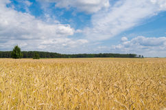 Field of grain. Landscape of polish field of grain. Cultivation of cereals Stock Photo