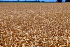 Field of grain ready for harvest Stock Images