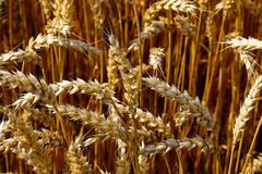 Field of grain ready for harvest Royalty Free Stock Photography
