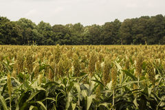 Field of Grain Sorghum Front View Stock Image