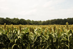 Field of Grain Sorghum. A field of green grain sorghum with a dense forest in the background and a cloudy blue sky stock image