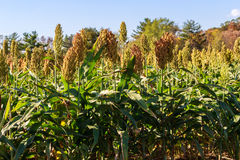 Field of Grain Sorghum Royalty Free Stock Photo