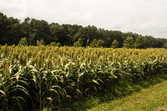 Field of Grain Sorghum Side View Royalty Free Stock Photo