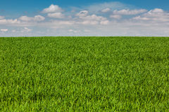 Field grain. Spring field with young grain Stock Photography