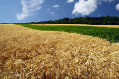 Field of grain in the summer Stock Photography