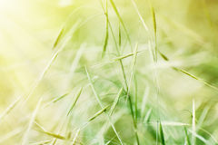 Field of grain in sun rays Royalty Free Stock Photo