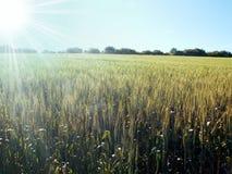 Field of grain in sun shining Royalty Free Stock Image
