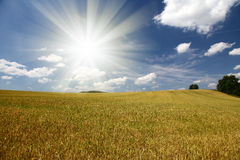 Field of grain with trees and blue sky Royalty Free Stock Image