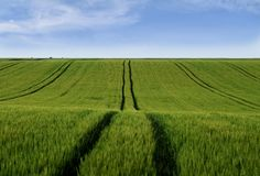 Field of grain with tractor tracks royalty free stock image
