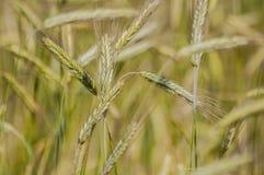 Field of grains Stock Photos