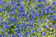 Field with Grape Hyacinths Royalty Free Stock Images