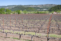 Field of grape vines in California Stock Photography