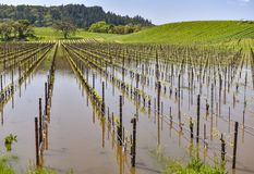 Field of grape vines are under water Royalty Free Stock Image
