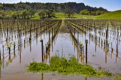 Field of grape vines are under water Stock Image